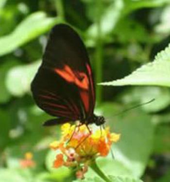 vlindertuin-Suriname